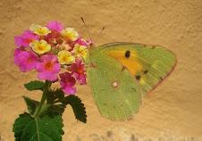 haz clic para ver fotos de mariposas en Cabriñana