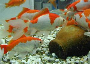 air kehidupan: Ikan Komet (Hias)