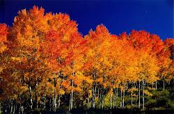 Aspen Treees