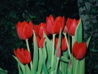 Khasiat Bunga Tulip