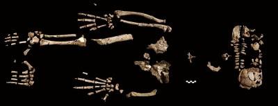 Esqueleto de Ardi. Autor: Tim D. White. Fuente: Science.