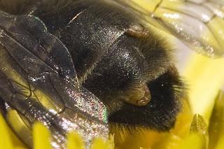 Para ampliar Andrena sp estilopizada hacer clic