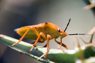 Para ampliar Carpocoris fuscispinus hacer clic
