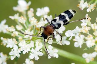 Para ampliar Chlorophorus trifasciatus hacer clic