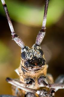 Para ampliar Monochamus galloprovincialis hacer clic