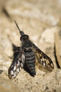 Para ampliar Conophorus hacer clic