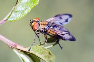 Para ampliar Ectophasia crassipennis   hacer clic