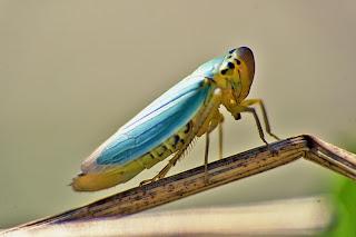 Para ampliar Cicadella viridis (Chicharrita) hacer clic