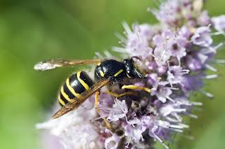 Para ampliar Vespula vulgaris (Avispa común) hacer clic