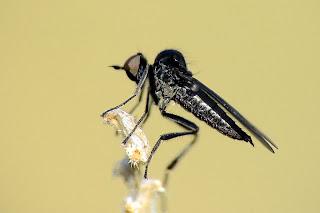 Para ampliar Familia Hybotidae (Mosca de la danza) hacer clic