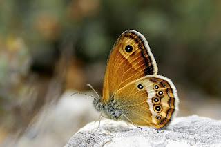Para ampliar Coenonympha dorus hacer clic