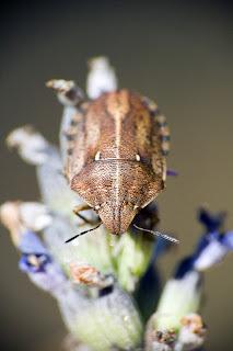 Para ampliar Eurygaster maura (chinche del cereal) hacer clic