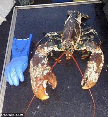 百歲 龍蝦 英 - 英漁民捕獲疑百歲巨龍蝦