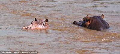 粉紅色河馬 - 非洲發現稀有的粉紅色河馬