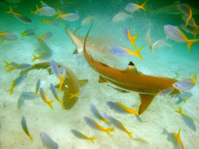 章魚 吞掉 鯊魚 - 章魚吞掉鯊魚事件