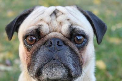 巴哥犬 蓮花舌 - 巴哥犬會「蓮花舌」