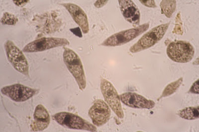 眼蟲 Euglena
