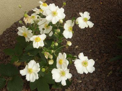 Les vivaces novembre 2009 - Anemone du japon blanche ...