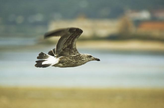 O vôo da Gaivota - Baía do Seixal