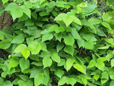 """And then there is the Poison Ivy Vine!! A friend said, """"Those poison ivy"""