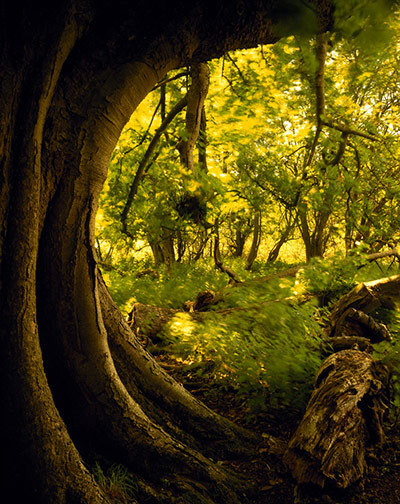 dating ancient trees Ancient trees are trees of great age – over 300 years for an oak tree ancient oaks may show some of these characteristics: • far fatter than usual with a very wide trunk.