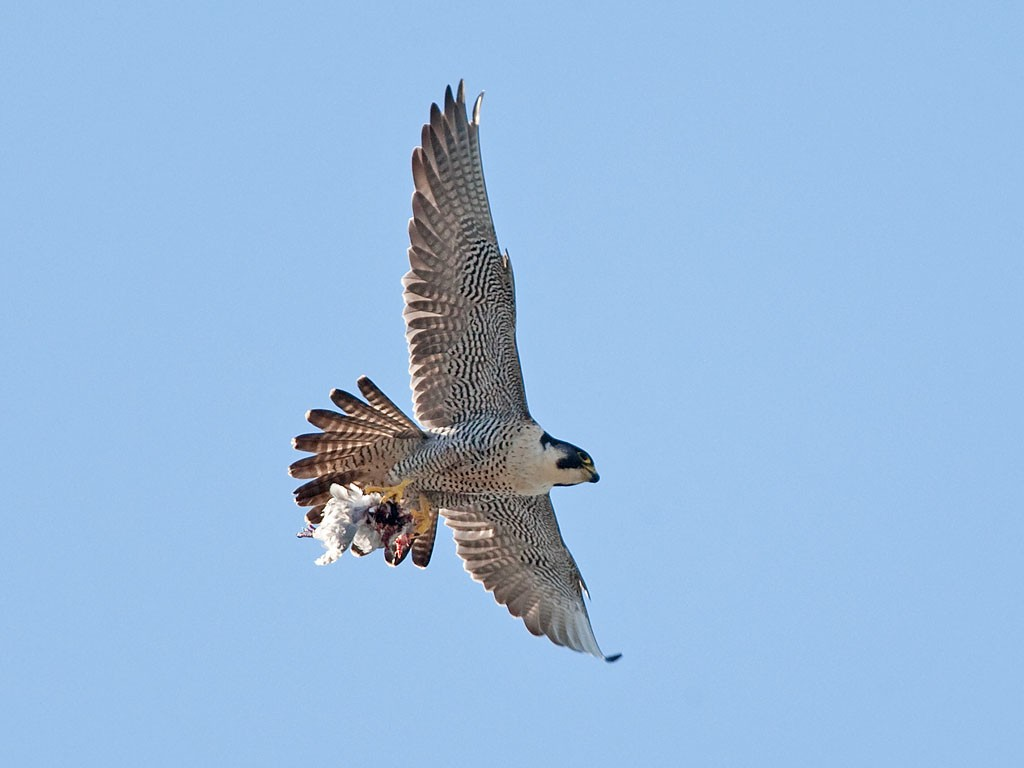 Derby Cathedral Peregrine Project - 2017: More photos by ...