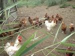 Avicultura (Galinhas) - Sistema Caipira