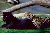 panthère noir et léopard