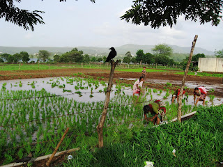Planting Rice near Pune