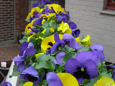 Pansies bloom in Bruges