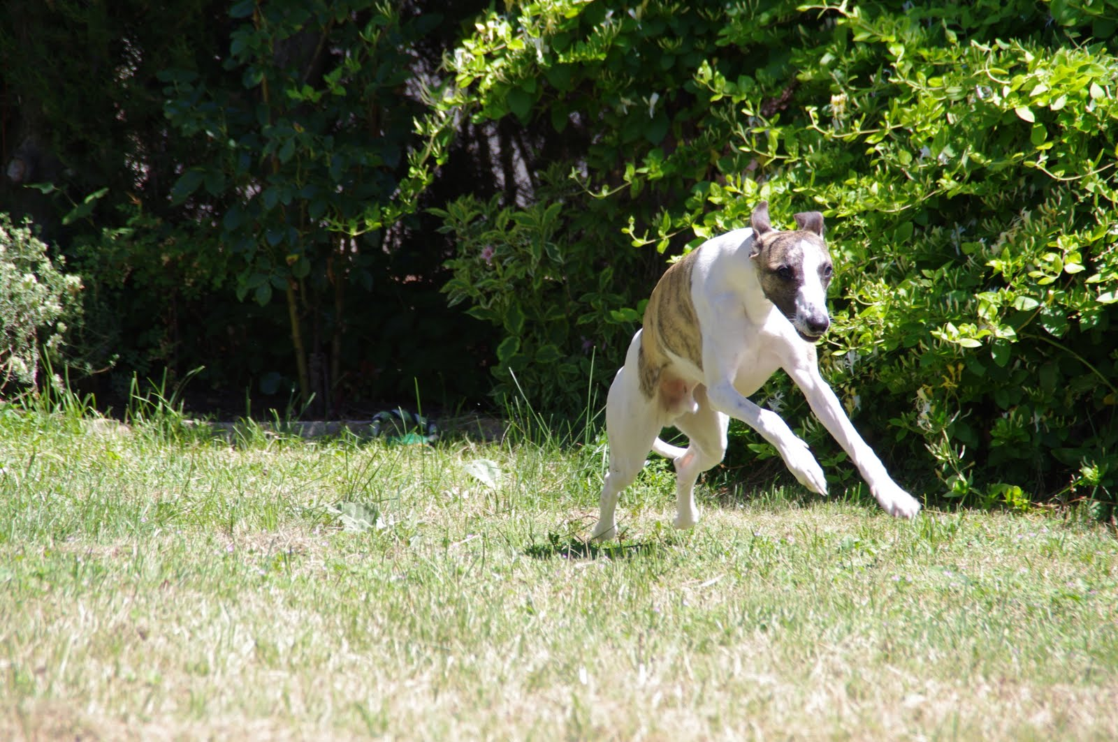 muscle hypertrophy in hard condition so called bully whippet with
