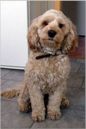 Best Hypoallergenic Dog