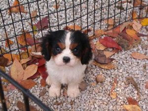 Cavalier-King-Charles-photos