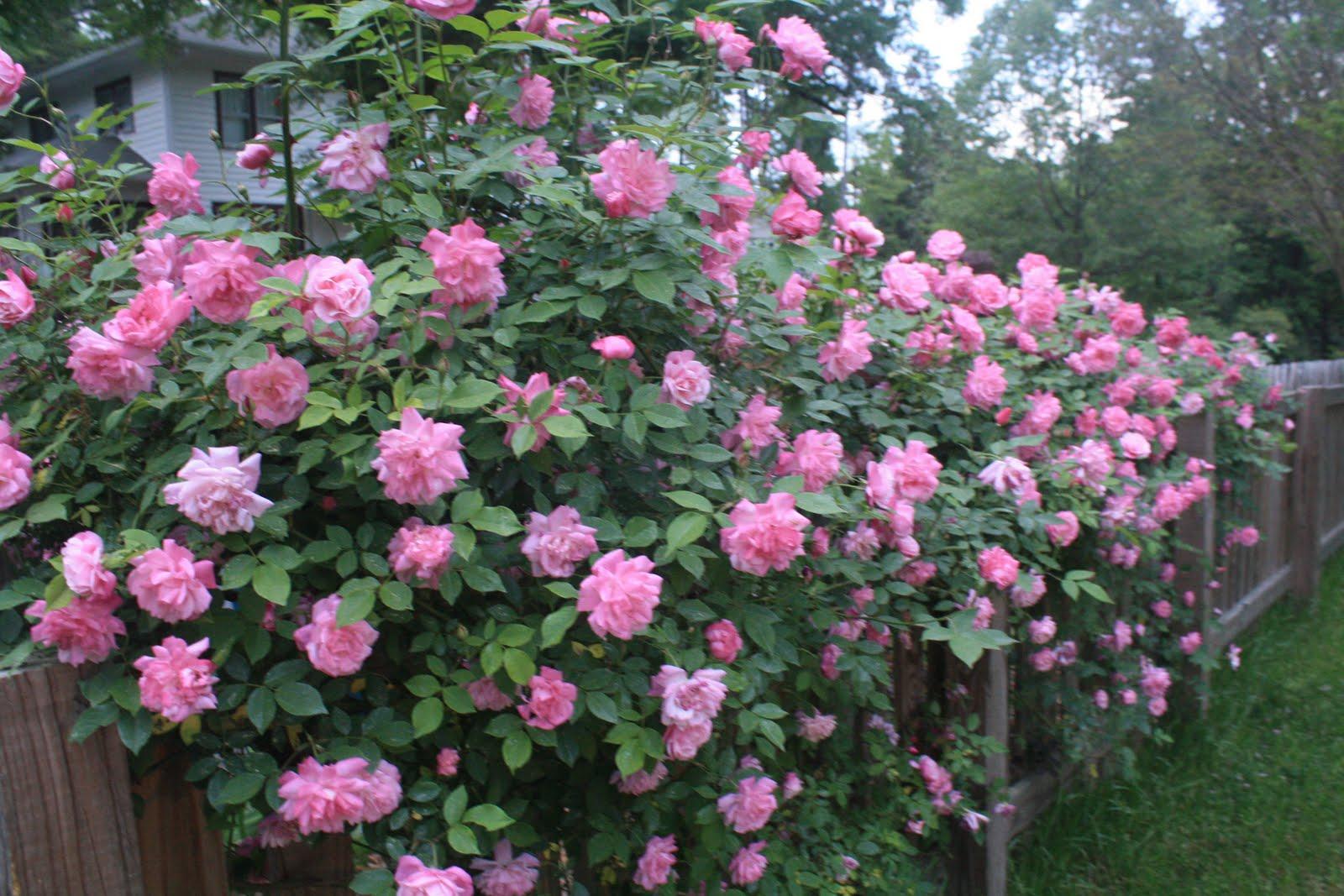 Rose inglesi yes or no for Rose inglesi