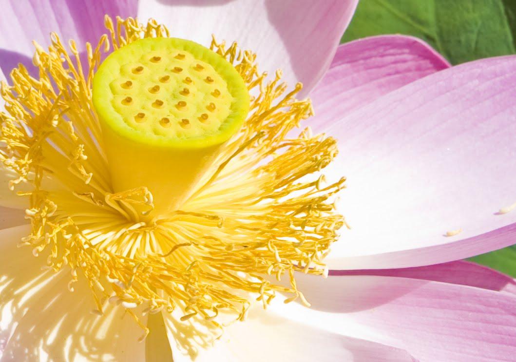 [Pink+Lotus+8-8-09+detail+crop.jpg]