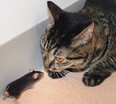 Musen efter katten