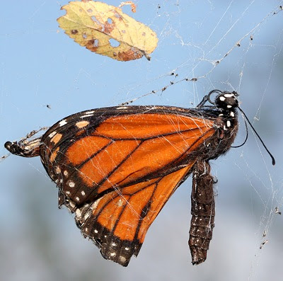 Død monark (danaus plexippus)