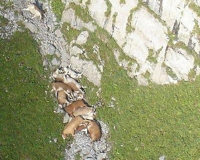Døde køer nedenfor klippevæggen