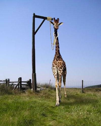 Giraf i galgen