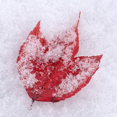 Ahorn blad i sneen