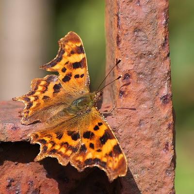 Rusten sommerfugl