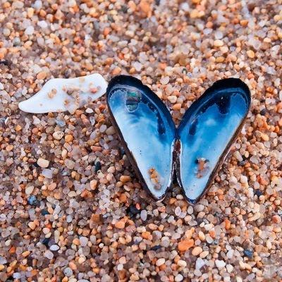 Muslingeskal som 'sommerfugl' på strandens grove sand'