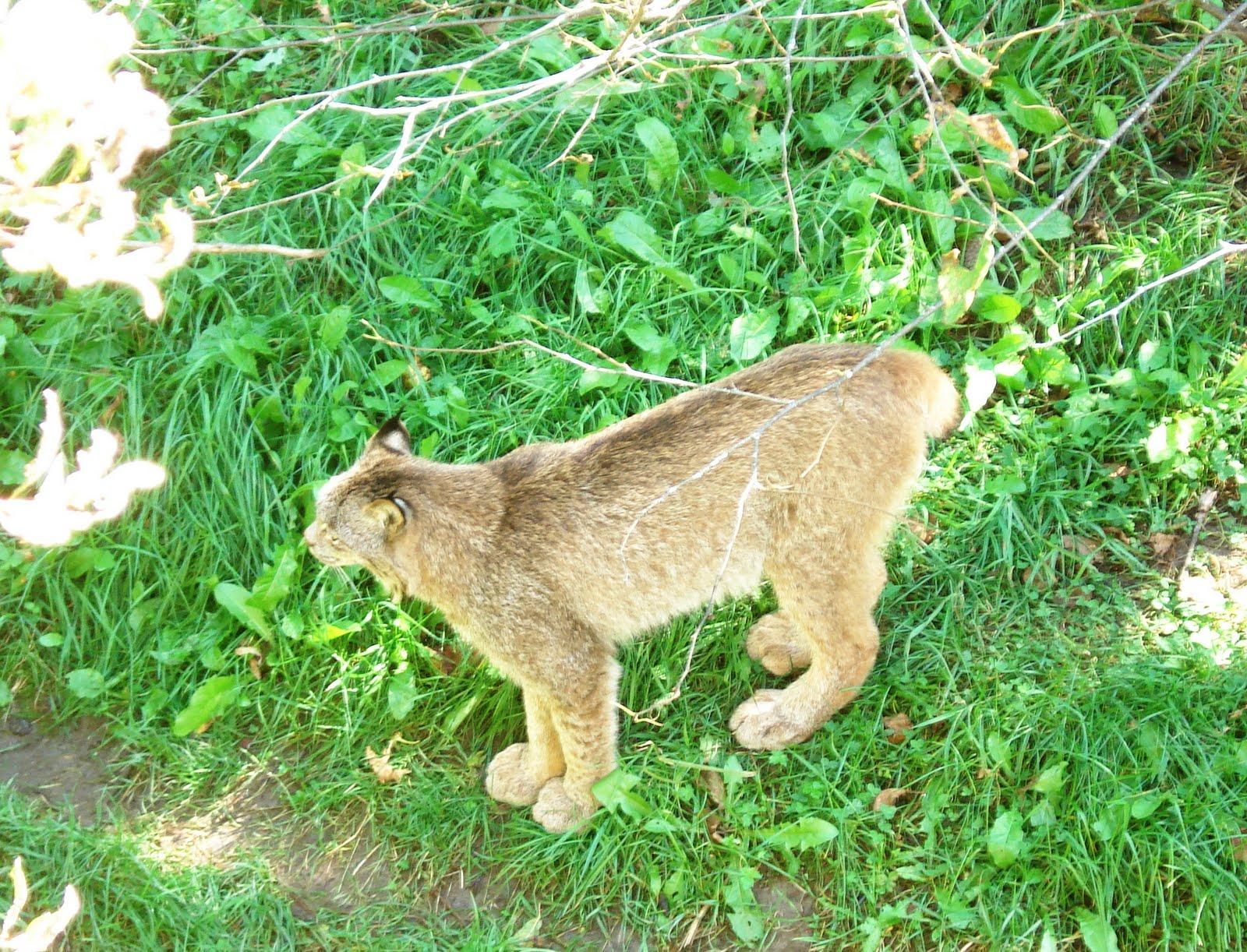 Vaşak gibi görünen vahşi ve yerli kediler