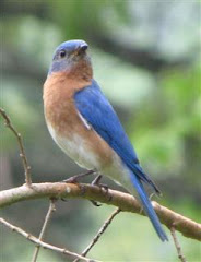 Male Eastern Bluebird ...One of my nesting yardbirds