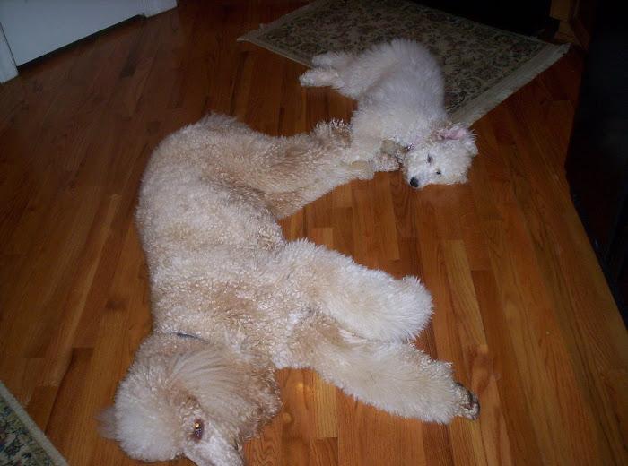 pooped poodles