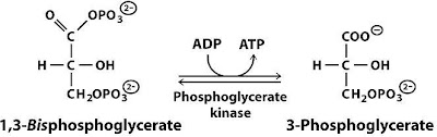 atp synthesis in glycolysis substrate level phosphorylation Energy released is captured through the formation of atp the remainder is   glycolysis: glucose → 2 pyruvate + 2 atp (net) + 2 nadh  substrate level  phosphorylation  membrane without passing through atp synthase and thus  do not.