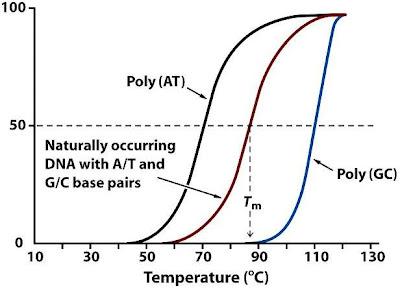 DNA:ts halvsmältpunkt beror på mängden AT- och GC-par.