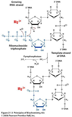 Sandwalk how rna polymerase works the chemical reaction lets begin by looking at the chemical reaction an incoming ribonucleoside triphosphate blue aligns with the dna template strand to form a base pair ccuart Gallery