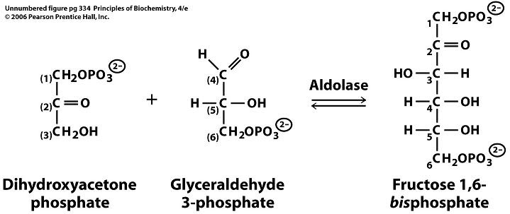 sandwalk: the aldolase reaction and the steady state, Skeleton