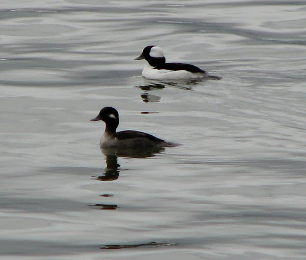 Bufflehead ducks in Astoria, Oregon